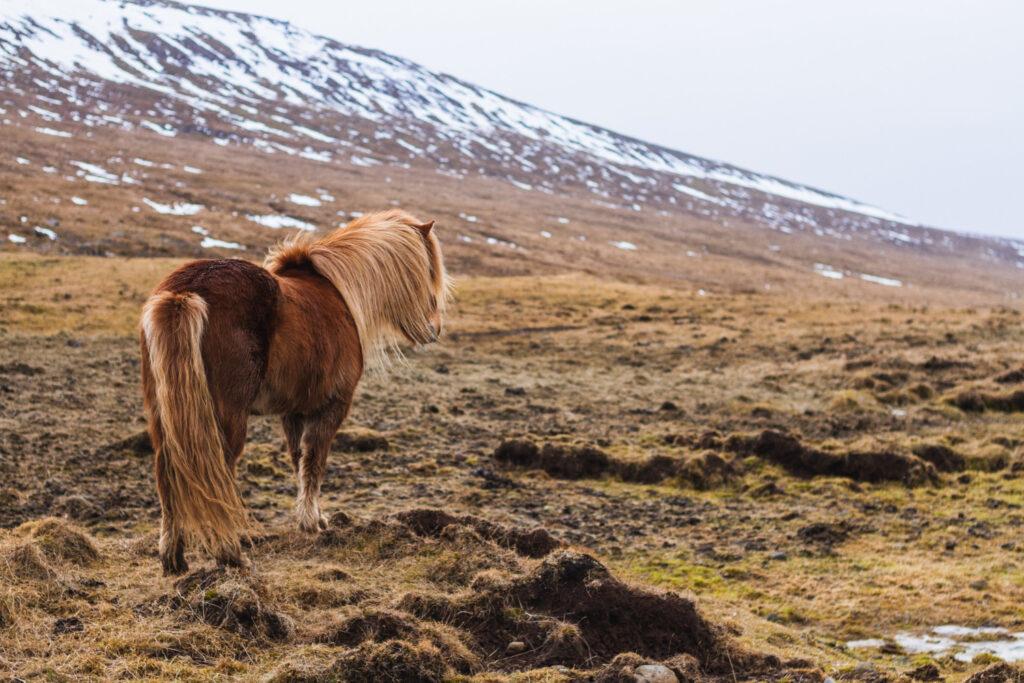 Horsepartner.dk: Dit online Islænder univers
